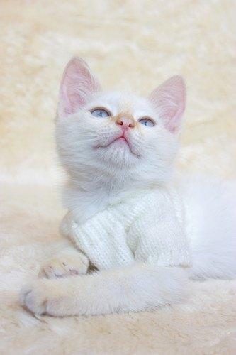お気に入りのファッションの猫