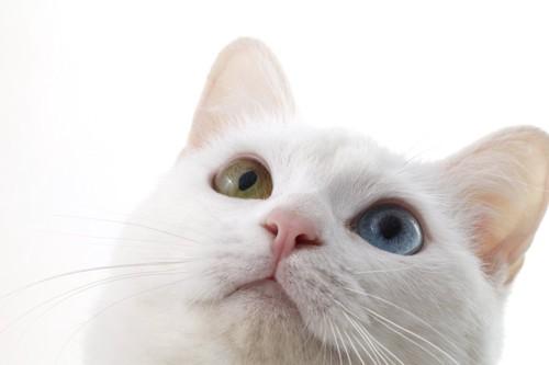 上を見つめるオッドアイの白猫の顔アップ