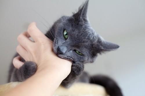 飼い主の手を噛むグレーの猫