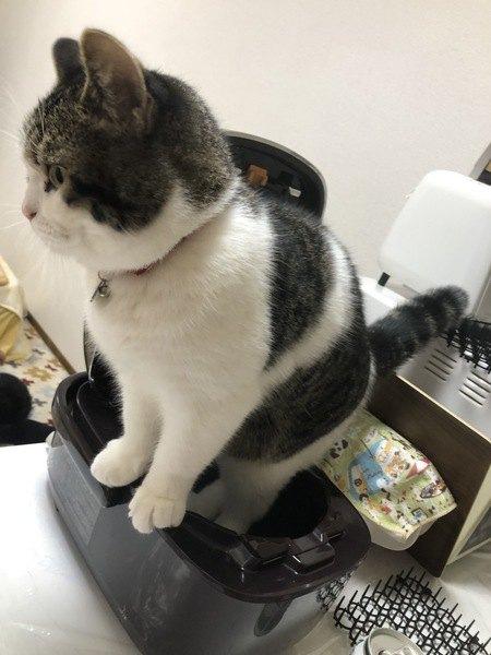 炊飯器でくつろぐ猫