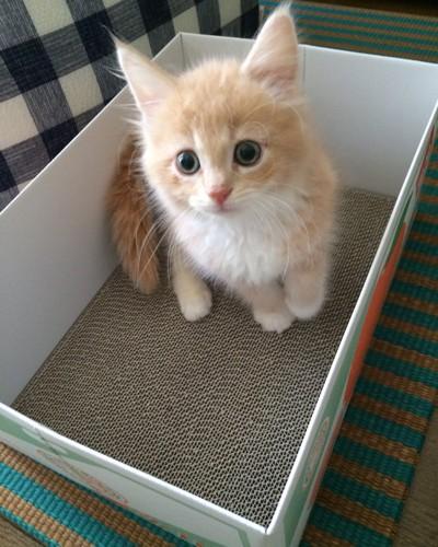 もふもふな子猫のメインクーン