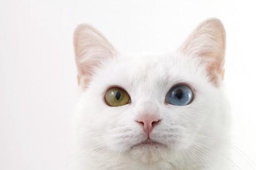 真っ正面を向くオッドアイの白猫
