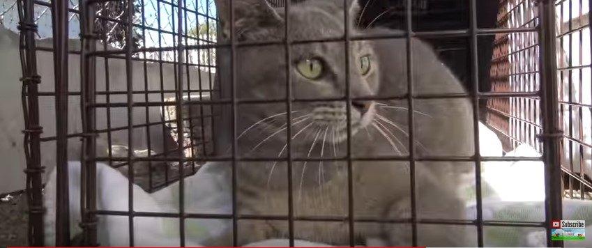 捕獲された猫