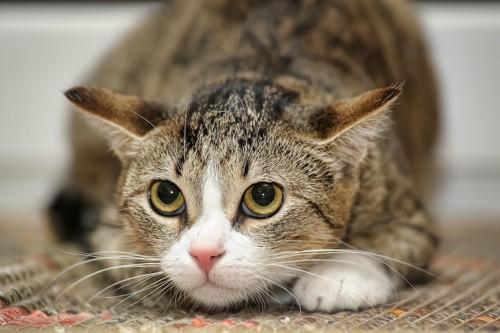 姿勢を低くしてイカ耳になっている猫