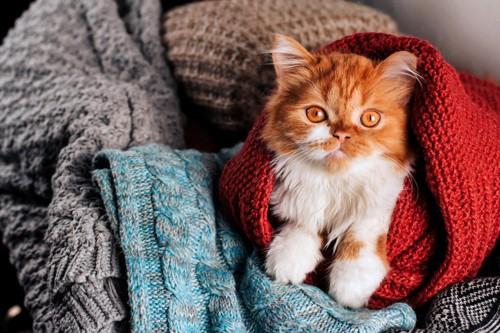 セーターに囲まれる猫