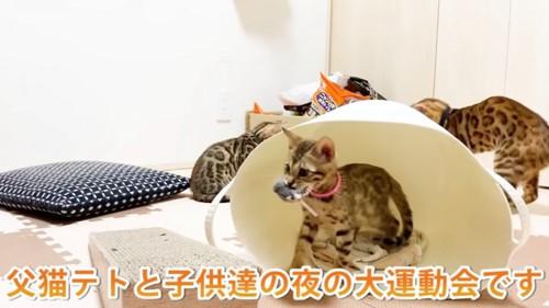 ネズミのおもちゃをくわえる子猫
