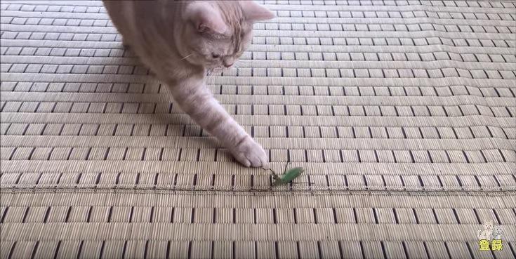 カマキリを触る猫