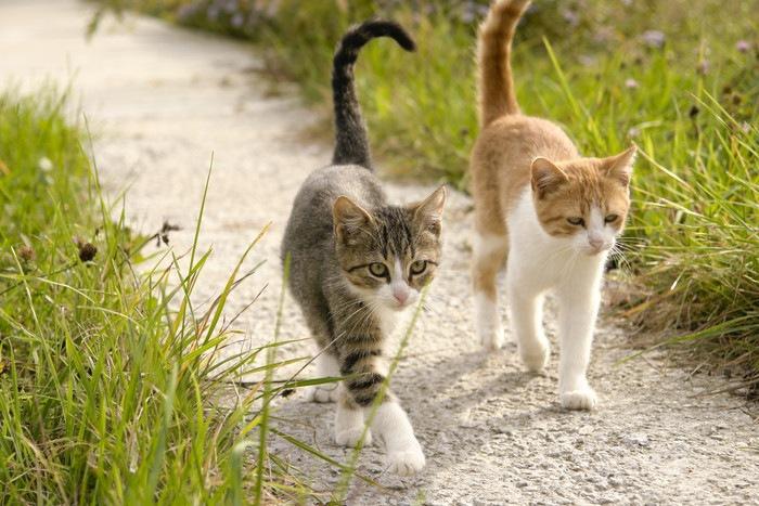 連れだって歩く靴下猫と柄猫