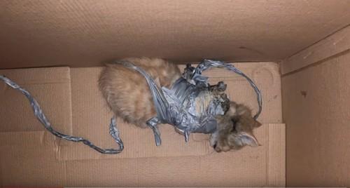 ダクトテープを巻かれた子猫