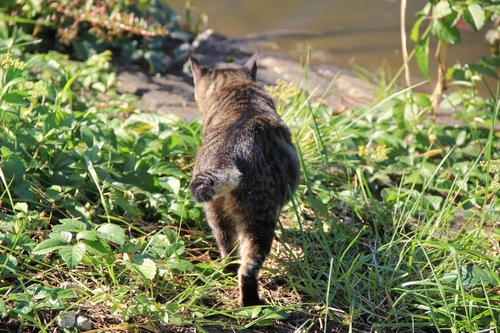 歩いていく尾曲がり猫