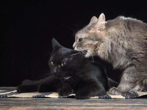 黒猫の首を噛む猫