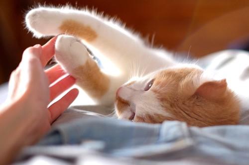 仰向けになる猫の前足を触る人の手