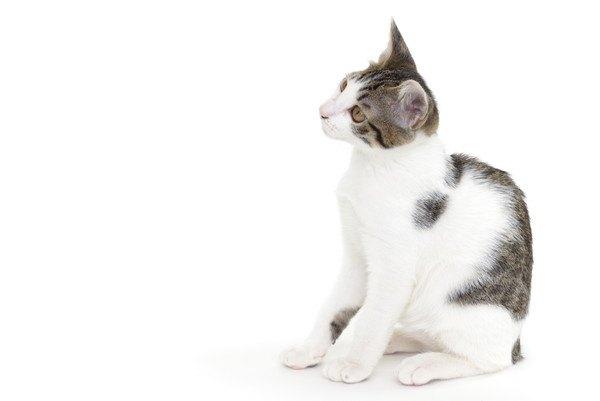 白い背景でお座りする子猫
