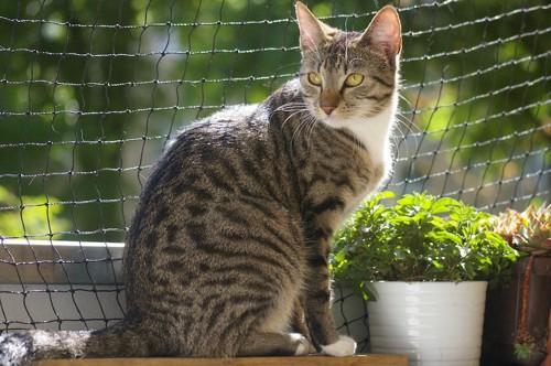 ネットの取り付けられたベランダに座る猫
