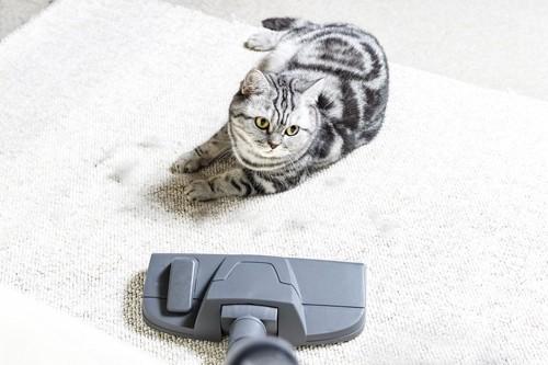 掃除機に対抗する猫