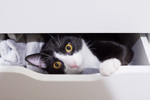 引き出しから顔を出す猫