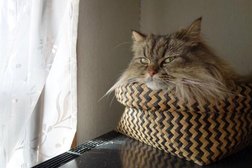 仏頂面の猫
