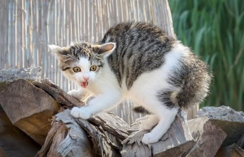 崩れそうな木材の上で威嚇する猫