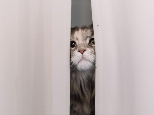カーテンの隙間から覗く猫