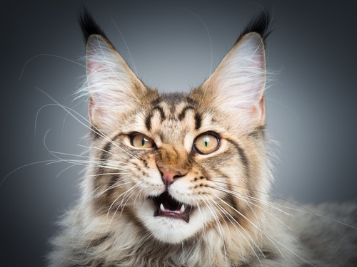 舌打ちしている猫