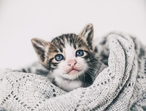セーターにくるまった猫