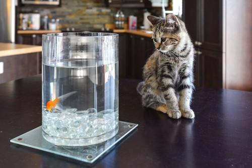 テーブルのうえの水槽と子猫