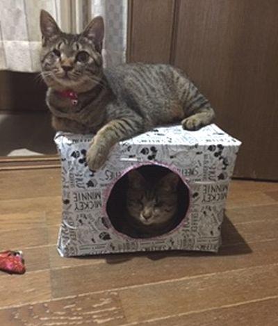 ダンボールハウスを使う猫たち