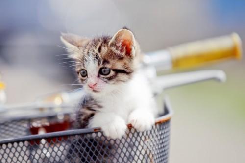 自転車の前かごに乗る子猫