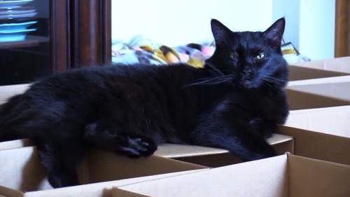 ダンボールの上でくつろぐ猫