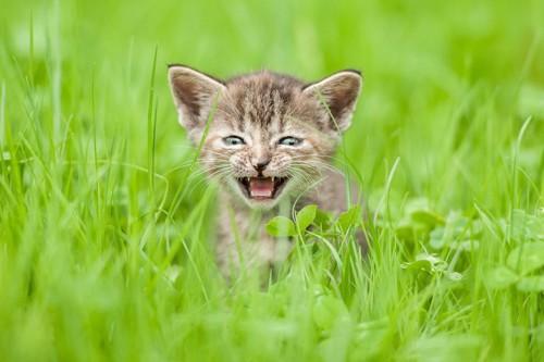 草むらで鳴く猫