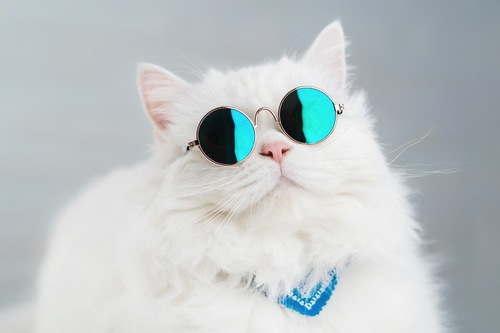 235693712/Portrait of highland straight fluffy cat with long hair and round sunglasses. Fashion, style, cool animal concept. Studio photo. White pussycat on gray background