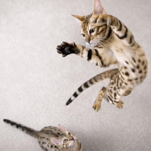 ジャンプするベンガル猫と見上げるベンガル猫