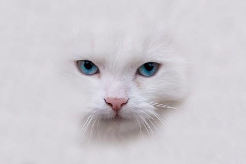 白猫の顔のアップ