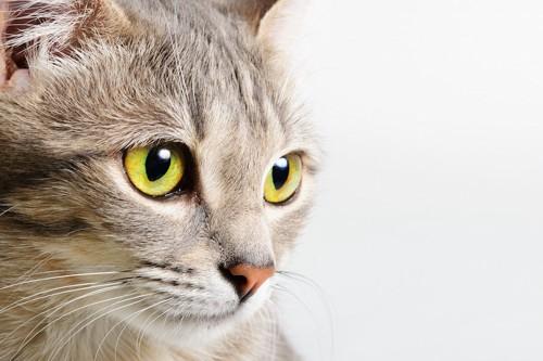 何かを見つめる猫の顔アップ