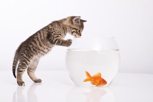 水槽の金魚を覗く猫
