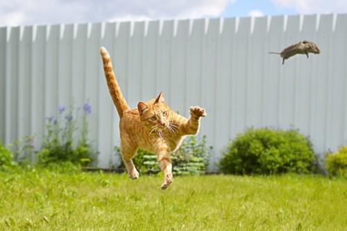 ネズミを追いかける猫