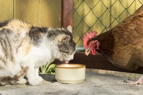 食器を覗きこむ鶏と猫