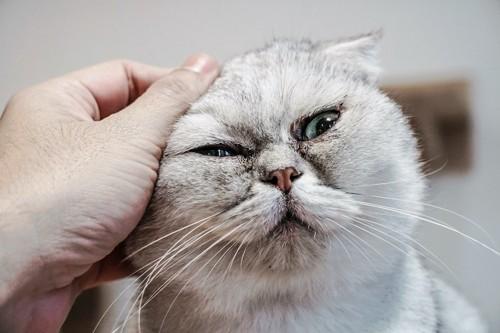 耳を撫でられている白い猫