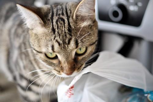 ビニールの匂いをかぐ猫