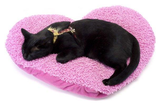 ハーネスをつけてハートのクッションで寝る猫