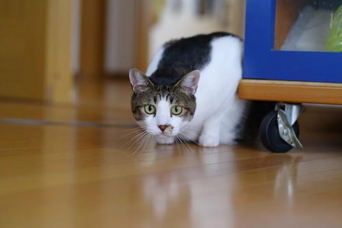 家具の近くで何かを狙っている猫