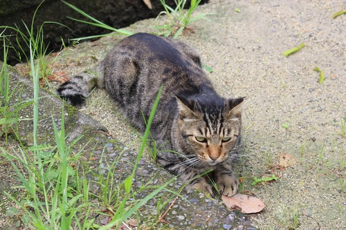 地面に寝そべるキジトラ猫