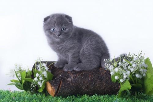 丸太の上に乗ったグレーのスコティッシュフォールドの子猫