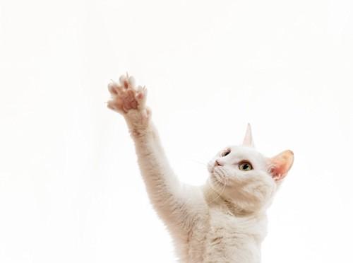 手を伸ばす白猫