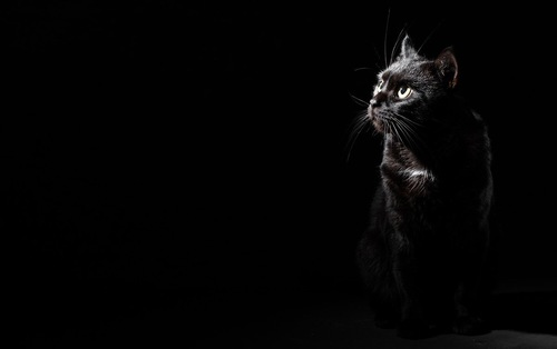 黒い背景で警戒中の猫