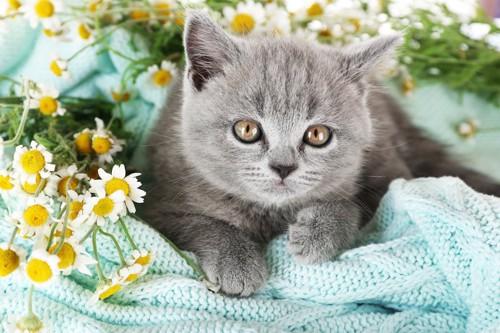 カモミールとグレーの子猫