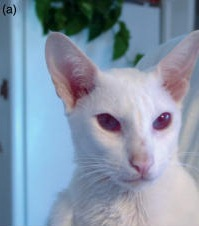 アルビノの猫