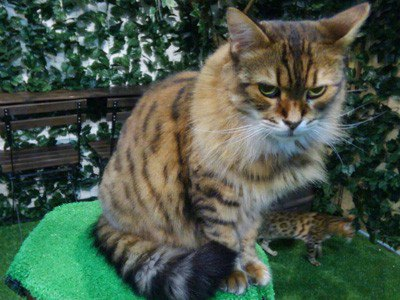 ヒョウ猫の森スタッフのベンガル猫マリー