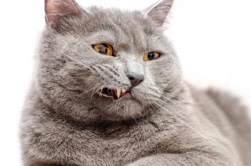 牙が少し見えているグレーの猫