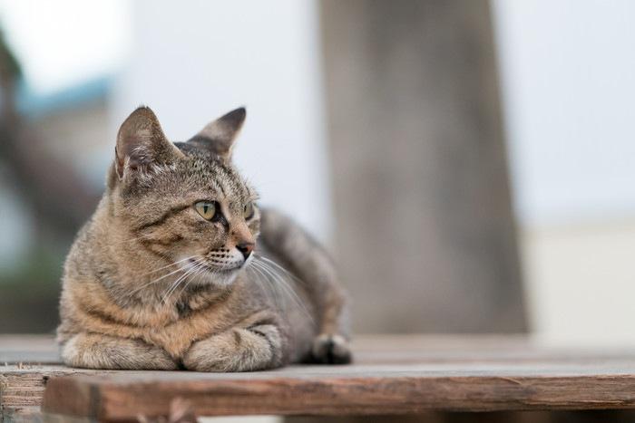 伏せて横を向いている野良猫